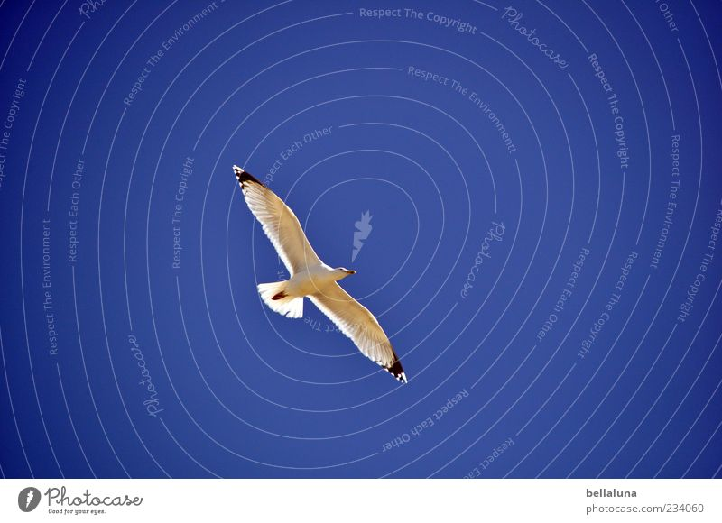 Spiekeroog | Gliding flight Nature Sky Cloudless sky Beautiful weather Coast Animal Wild animal Bird 1 Flying Colour photo Multicoloured Exterior shot