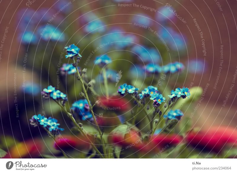 Flower greeting on Mother's Day Environment Nature Spring Forget-me-not Daisy Garden Blossoming Fragrance Growth Beautiful Blue Pink Black & white photo