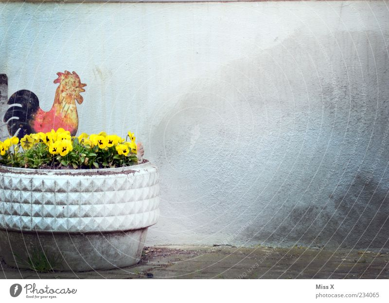 Cockerel Decoration Spring Summer Plant Flower Blossom Kitsch Multicoloured Rooster Pansy Flowerpot Wall (building) Figure Colour photo Exterior shot Deserted