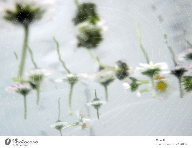 blub Water Flower Blossom Waves Bathtub Wellness Spa Daisy Colour photo Subdued colour Close-up Underwater photo Deserted Neutral Background Light Reflection