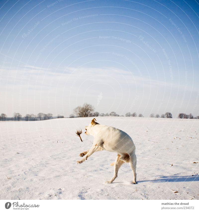 OLD WINTER PICTURE Environment Nature Landscape Plant Sky Clouds Horizon Beautiful weather Ice Frost Snow Tree Field Movement Jump Cold White Dog Stick