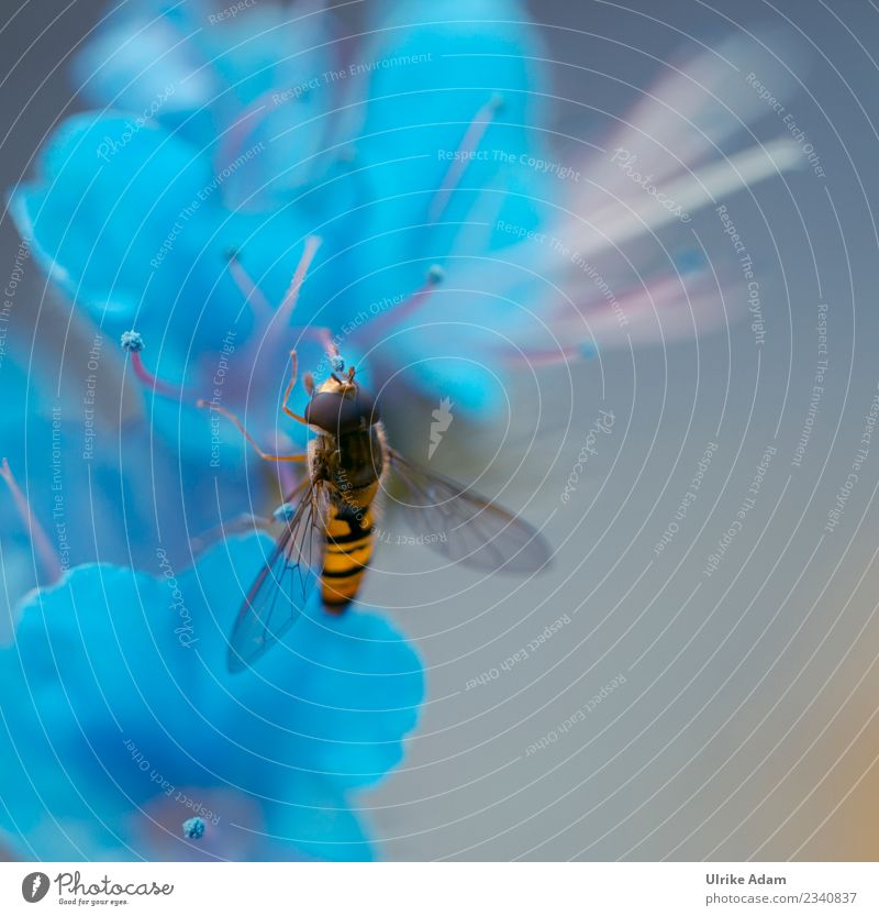 Hoverfly on light blue blossom Environment Nature Plant Animal Spring Summer Autumn Flower Blossom Geranium Garden Park Fly Bee Wing Hover fly Insect 1 Flying