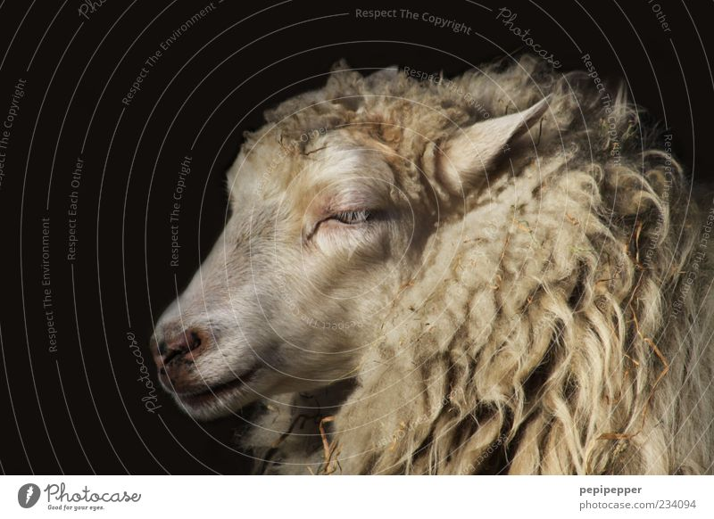 Beautiful Animal Emotions Soft Pelt Animal face Sheep Farm animal