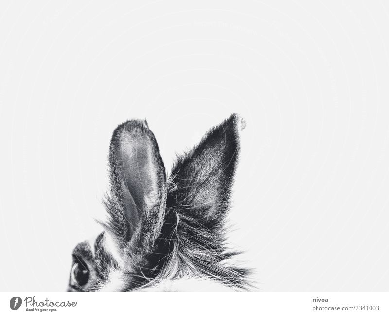 Bunny ears in black and white Environment Nature Animal Pet Hare & Rabbit & Bunny Ear 1 Pelt Movement Discover Listening Free Friendliness Happiness Fresh