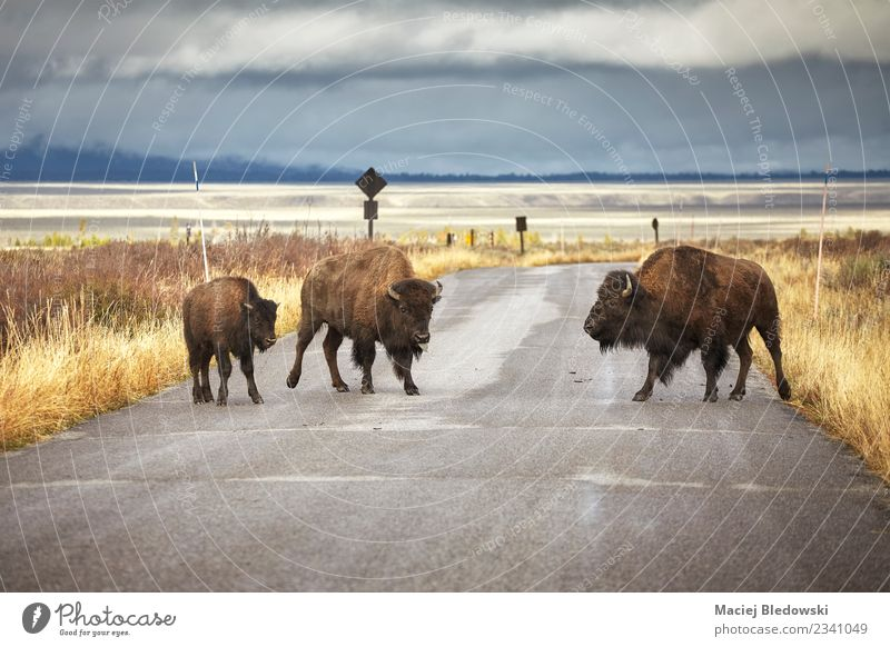 American bison family cross a road in Grand Teton National Park. Nature Vacation & Travel Landscape Animal Street Grass Tourism Wild Wild animal Adventure USA