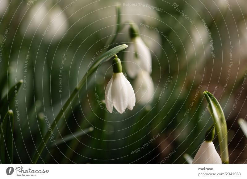 snowdrops Environment Nature Earth Spring Beautiful weather Plant Flower Grass Leaf Blossom Wild plant Spring flowering plant Living thing Snowdrop Lily plants