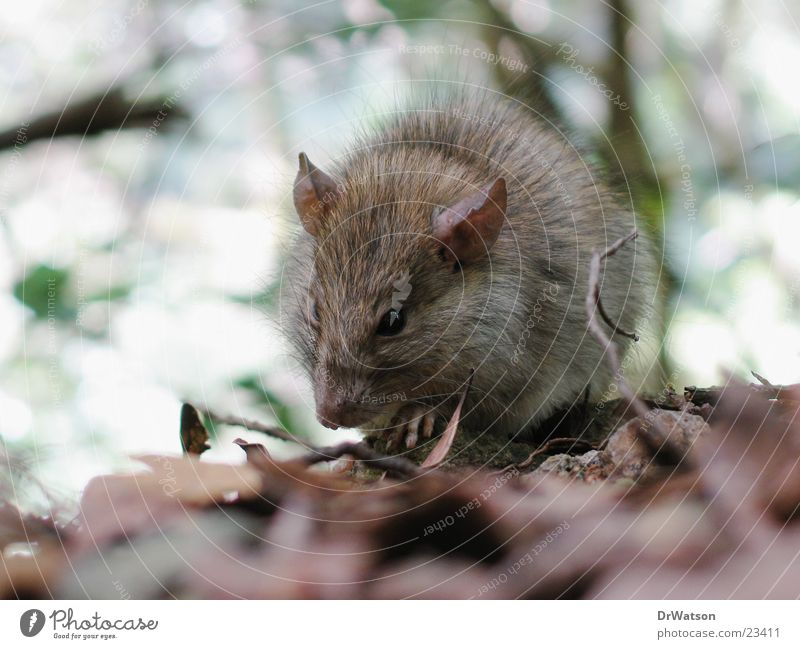 Rat like that. Rodent Pelt Leaf Animal Mouse