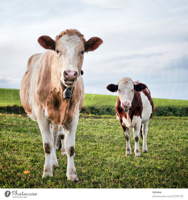 Grassland and monkeys for sale Nature Landscape Meadow Field Cow 2 Animal To feed Feeding Cool (slang) Cute Brown Gray Green Cow bell Milk production Livestock