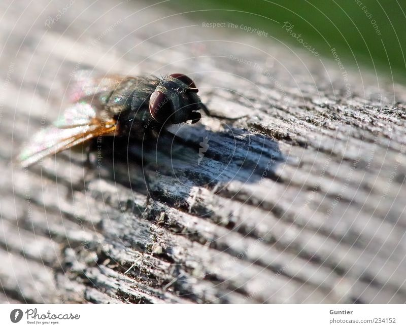 Fly on wood Wild animal Wing 1 Animal Multicoloured Gray Green Black White Wood Wooden board Insect Eyes Brown Observe Wait Head Animal foot Colour photo
