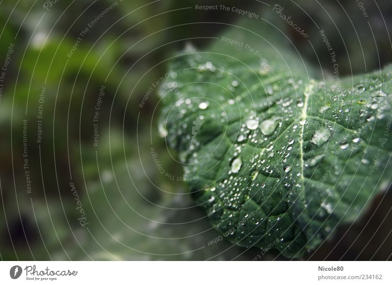 Raindrops in the field Environment Nature Plant Drops of water Leaf Foliage plant Agricultural crop Field Fresh Green Wet Dew Colour photo Exterior shot