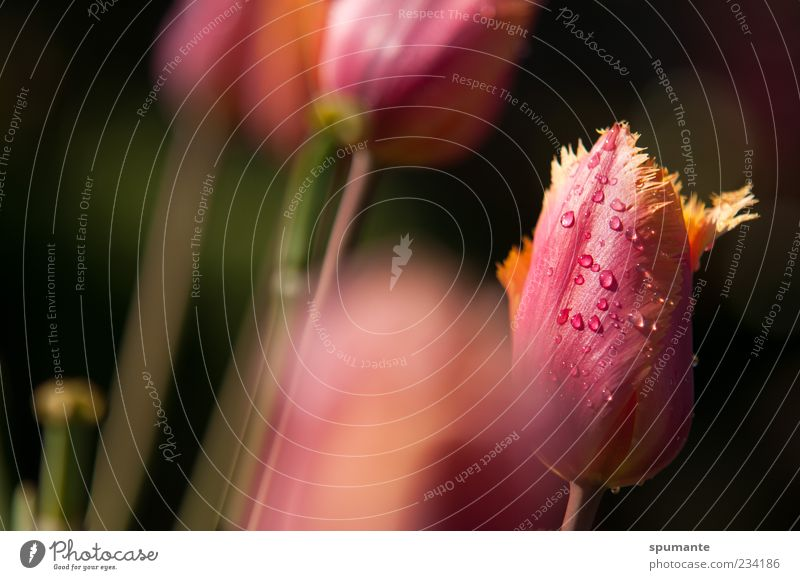 frayed Nature Plant Drops of water Spring Beautiful weather Flower Tulip Blossom Multicoloured Yellow Pink Black Spring fever Colour photo Exterior shot Morning