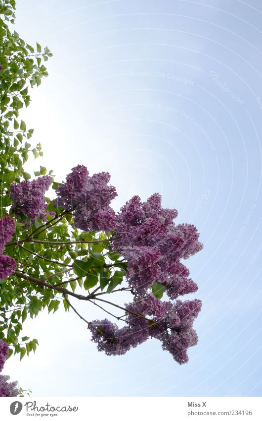 Sky Nature Tree Plant Leaf Spring Blossom Growth Bushes Violet Beautiful weather Blossoming Fragrance Bud Cloudless sky Lilac