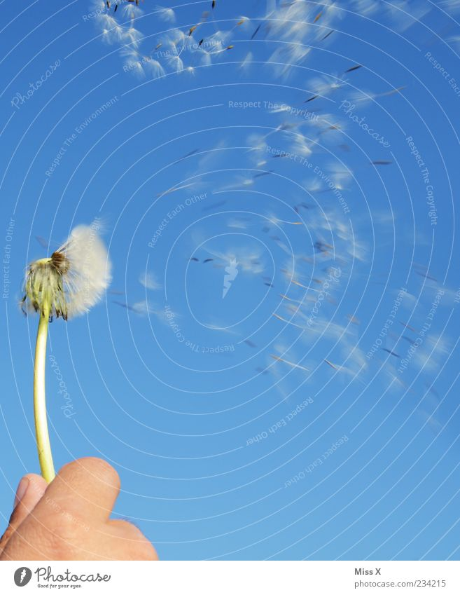km/h Nature Plant Cloudless sky Spring Summer Beautiful weather Flower Flying Speed Beginning Freedom Ease Seed Blow Dandelion To hold on Wind Colour photo