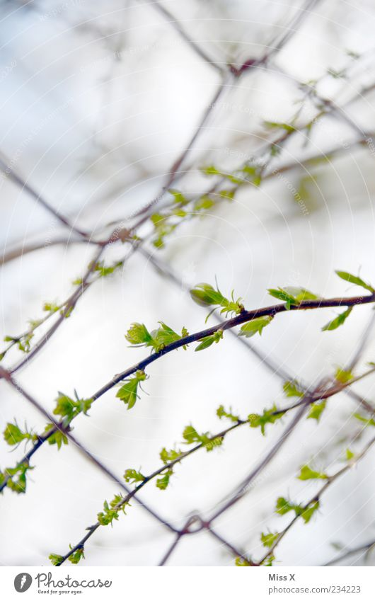 Fresh shoots Nature Plant Spring Tree Bushes Leaf Growth Shoot Light green Leaf bud Wire netting fence Fence Colour photo Exterior shot Close-up