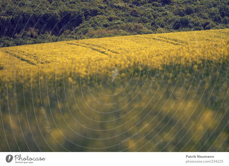 Nature Summer Yellow Environment Landscape Spring Climate Agricultural crop Canola field