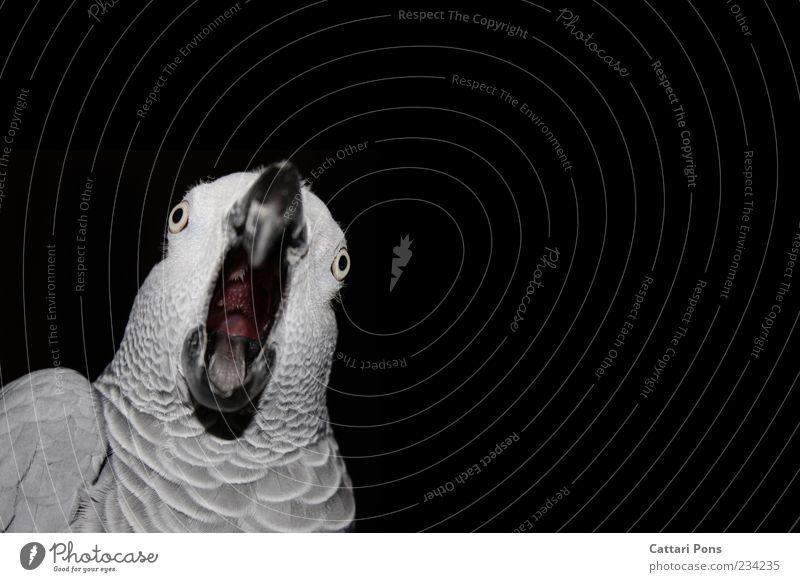 WTF?! Animal Pet Bird Animal face Feather Parrots Beak Tongue Throat 1 Observe Movement To talk Communicate Scream Exotic Uniqueness Near Nerdy Crazy Gray