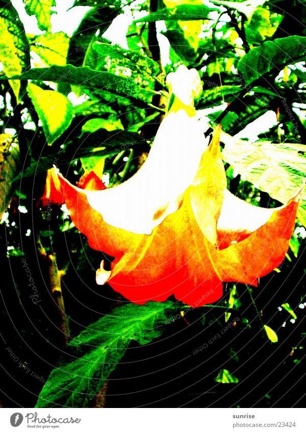 angel trumpet Tree Blossom Datura Nature Orange Detail
