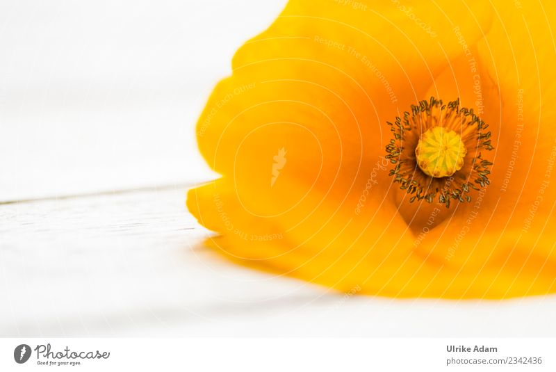 Orange Poppy Blossom Elegant Mother's Day Nature Plant Summer Flower Poppy blossom Garden Park Blossoming Illuminate Exceptional Bright Beautiful Moody Caution