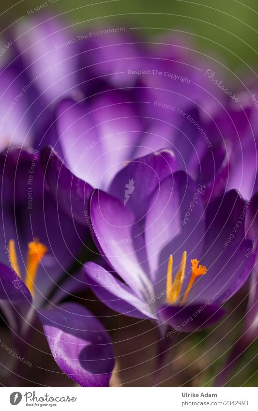 Purple crocuses (Crocus) in detail Easter Nature Plant Spring Flower Blossom Garden Park Blossoming Beautiful Violet Spring fever Anticipation Delicate Pistil