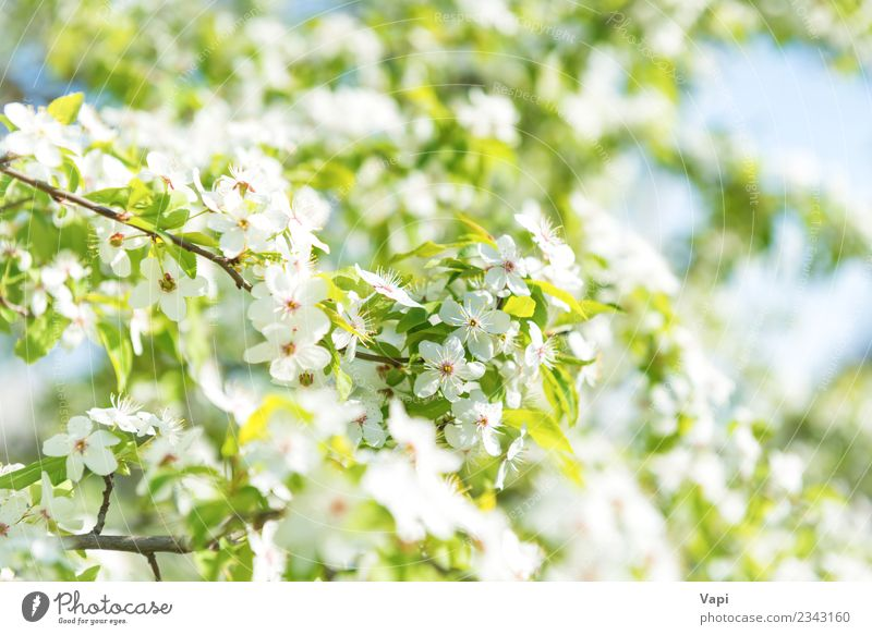 White flowers on a blossom cherry tree Beautiful Summer Garden Wallpaper Gardening Nature Plant Sky Sunlight Spring Tree Flower Leaf Blossom Blossoming Growth