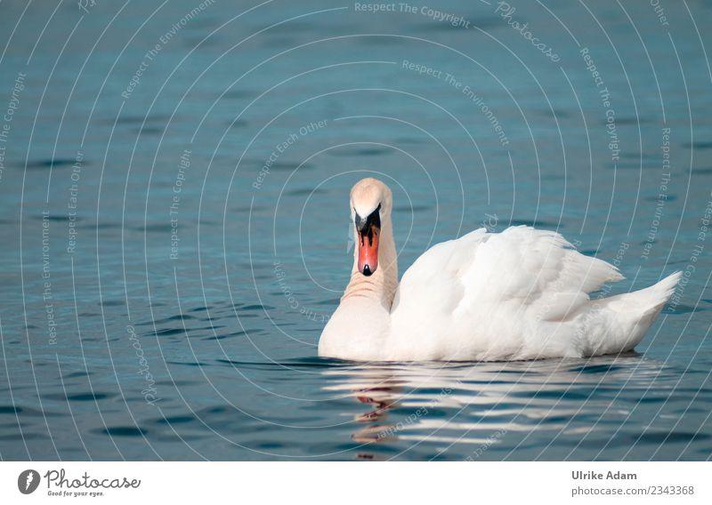 Swan in the sea Elegant Nature Animal Water Spring Summer Autumn Waves Coast Lakeside Baltic Sea Ocean Island Bornholm Denmark Wild animal Bird Wing Beak