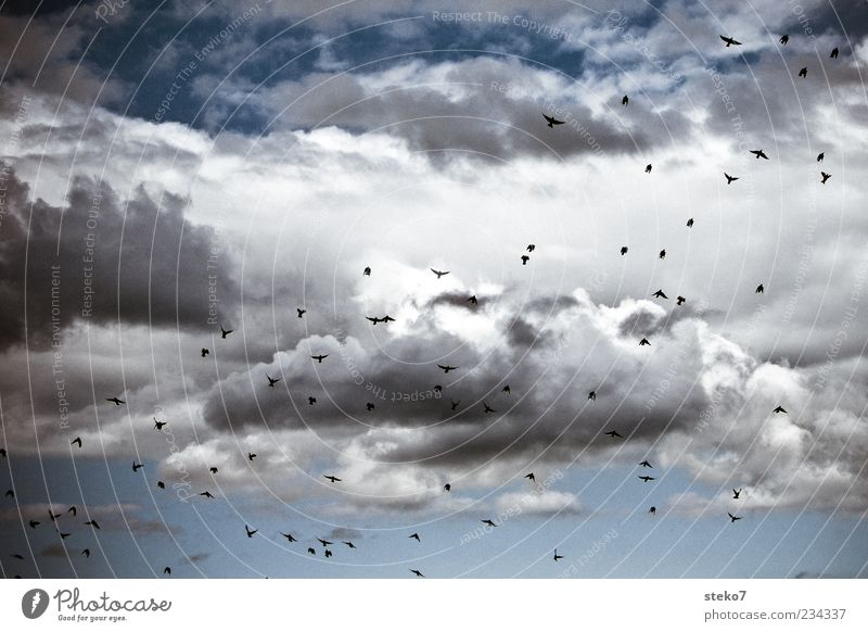 swarm Clouds Animal Bird Flock Flying Starling Ambitious Blue Far-off places Freedom Colour photo Exterior shot Deserted Day Flight of the birds Flock of birds
