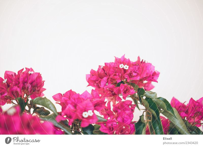 Pink bougainvilleas on white background Nature Plant Flower Spring Blossom Garden Copy Space Bougainvillea Fuchsia
