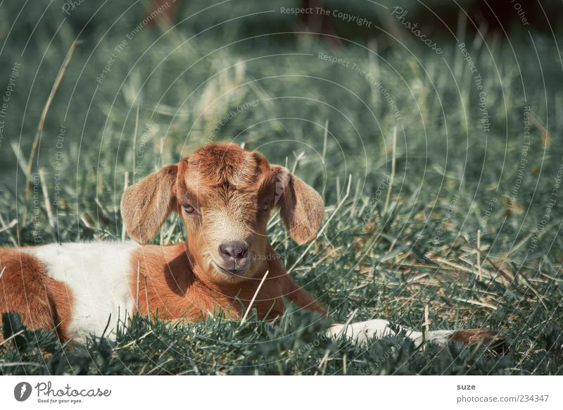 kid Nature Animal Spring Grass Farm animal 1 Baby animal Lie Natural Cute Goats Kid (Goat) Dappled Speckled Pasture Pelt Goatskin Colour photo Multicoloured
