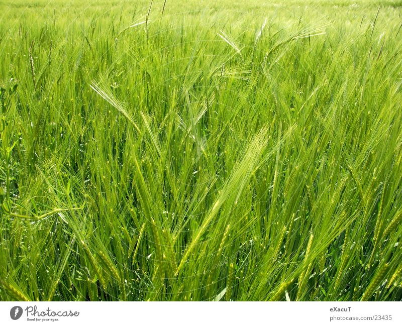 barley field Field Plant Green Barley Grass Nature Grain out Americas