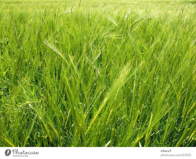 Nature Green Plant Grass Field Grain Americas Barley