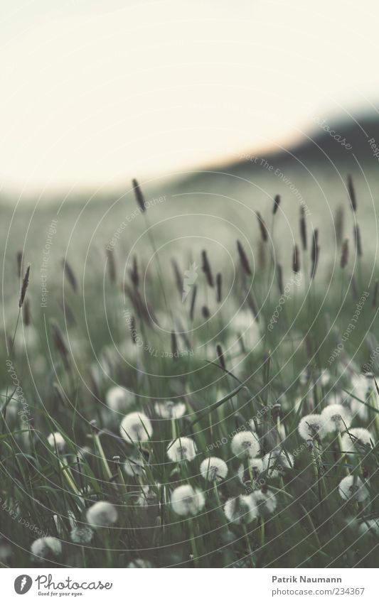 blown Environment Nature Spring Climate change Plant Grass Bushes Foliage plant Agricultural crop Meadow Field Blossoming Dream Free Green White Spring fever