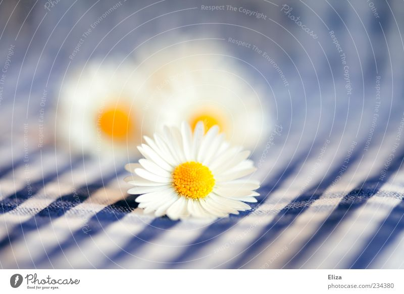 Daisy Picnic Spring Flower Bright Checkered Blue-white Summer Tablecloth Pistil Blossom leave Delicate Close-up Ease Alpine Colour photo Detail
