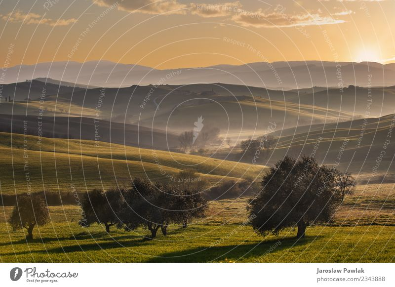 Tuscan fields and olive trees at sunrise in a mystical fog Vacation & Travel Nature Summer Plant Green Landscape Sun Tree House (Residential Structure) Street