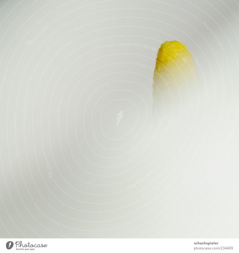 inquisitorial Plant Flower Blossom Calla Bright Yellow White Sepal Flower fruit Colour photo Subdued colour Copy Space left Copy Space bottom