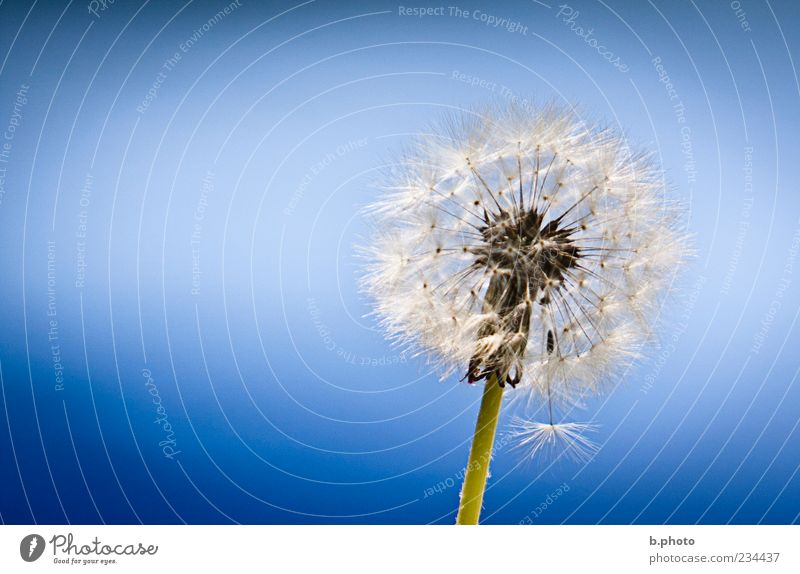Nature Beautiful Sky Flower Plant Summer Blossom Spring Elegant Environment Soft Uniqueness Desire Delicate Dandelion Beautiful weather
