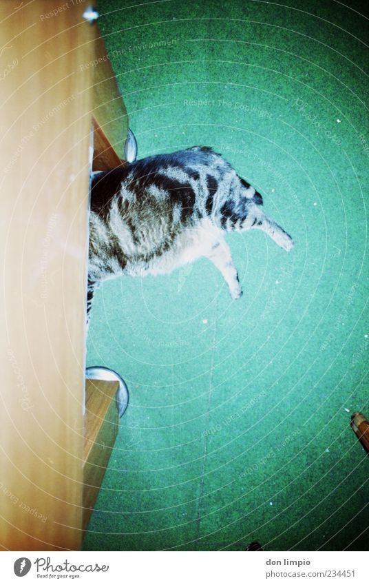 Cat Green Animal Calm Relaxation Wild Lie Sleep Pelt Serene Fat Analog Hide Trashy Pet Carpet