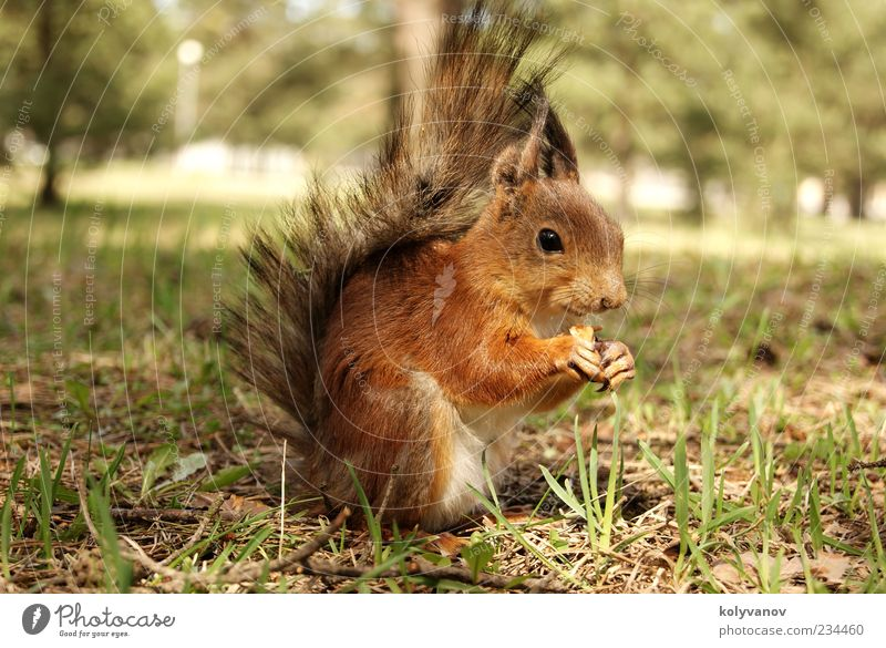 squirrel Beautiful Animal Tree Small Natural Speed Brown nice wildlife ears claws amusing fluffy Brisk protein Deserted
