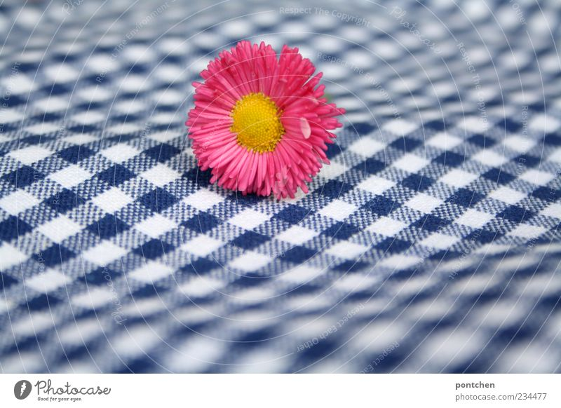 Pink daisies lie on a blue and white checked fabric. Pattern, checkered. Spring. Plant Esthetic Blue Yellow White Checkered bleed Cloth Blur Colour photo