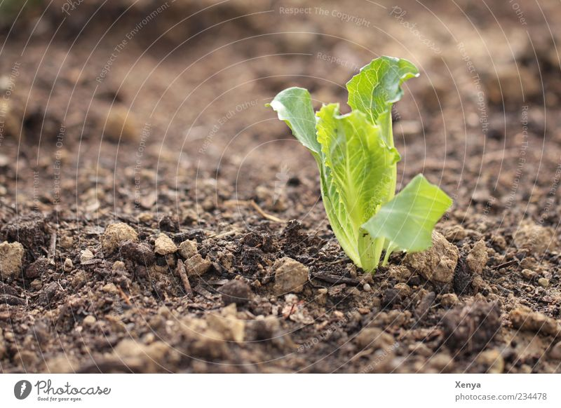 Who sows, who ... Spring Plant Growth Fresh Brown Green Domestic farming Iceberg lettuce Plantlet Colour photo Exterior shot Close-up Deserted Copy Space left