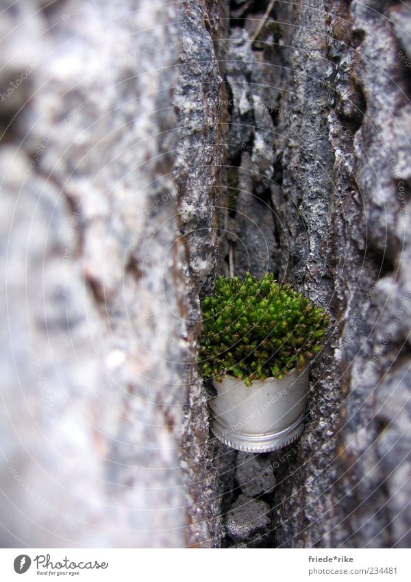 survival artist Environment Nature Plant Moss Rock Screw top Stone Hang Firm Gray Green Silver Colour photo Exterior shot Day Clamp Fix Between Exceptional