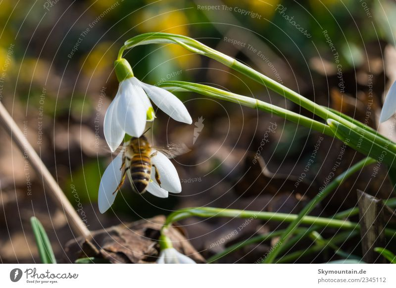 Snowdrops in spring, the first bee... Environment Nature Landscape Plant Animal Sun Spring Weather Beautiful weather Wild plant Yellow Green Orange Black Joy
