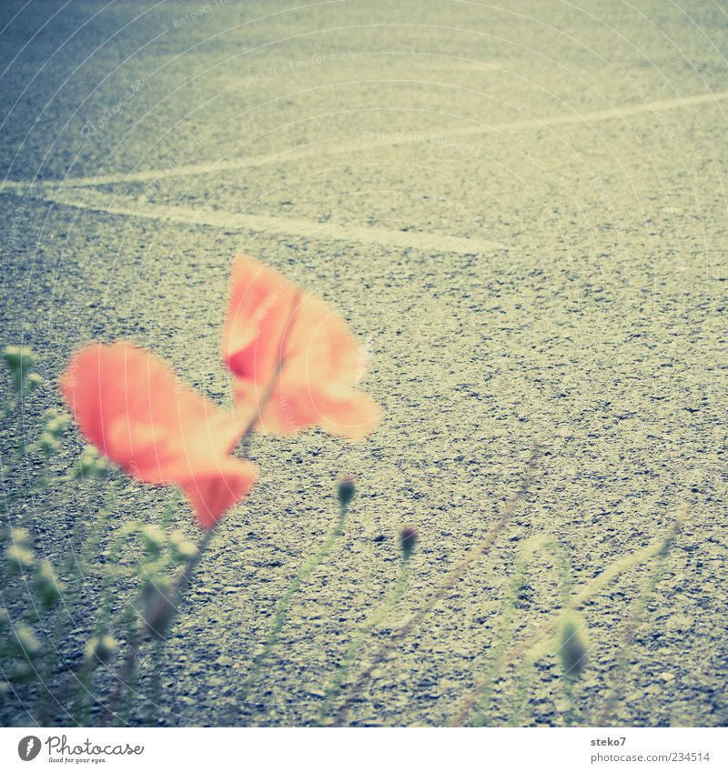 streetview Plant Blossom Street Gray Red Black Nature Lanes & trails Asphalt Poppy blossom Retro Colours Roadside Subdued colour Exterior shot Close-up Deserted