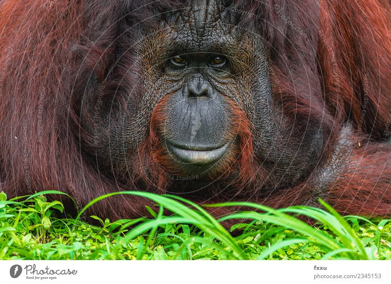 Close Up Recording of a horizontal orangutan Nature Facial hair Beard Hair Hairy chest Animal Wild animal Animal face Zoo 1 Observe Think Relaxation Hang
