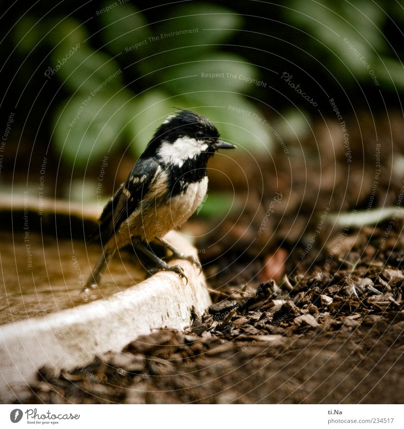 tit bathing season Environment Nature Spring Animal Wild animal Bird Tit mouse Fir-tree tit 1 Authentic Small Wet Cute Brown Green Black Colour photo