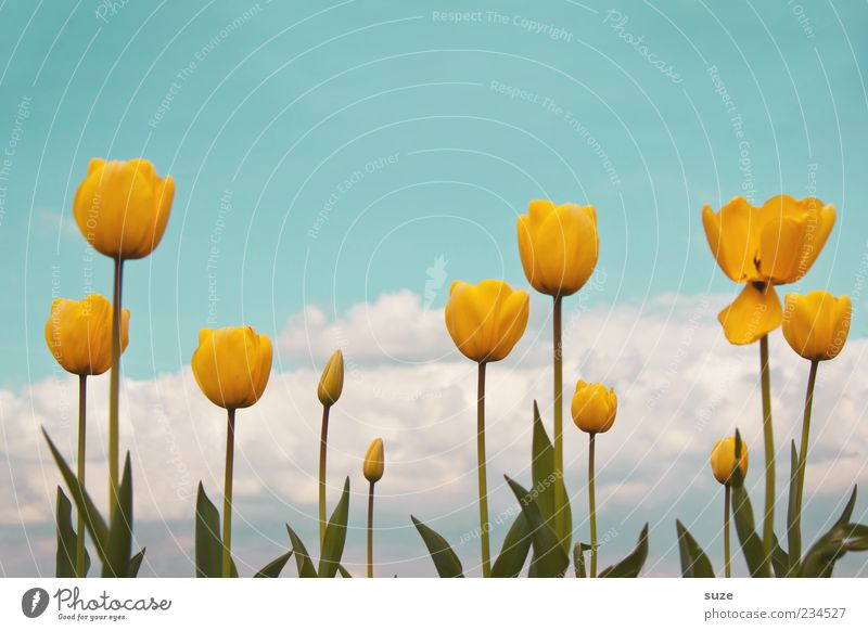 Growth of the yellow dolls Garden Environment Nature Landscape Plant Sky Clouds Spring Summer Climate Beautiful weather Tulip Blossoming Fragrance Friendliness