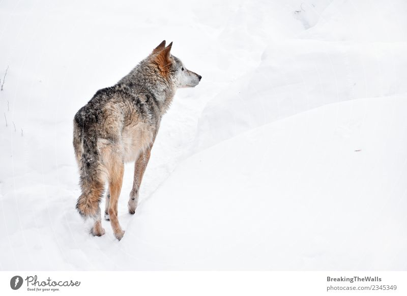 Rear view of wolf on white snow Nature Animal Winter Snow Wild animal Zoo Wolf 1 White Watchfulness Observe wildlife Gray Colour photo Deserted Copy Space right