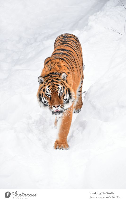 High angle view of tiger walking on snow Cat Nature White Red Animal Winter Cold Snow Wild Wild animal Walking Mammal Deep Zoo Animal face Tiger