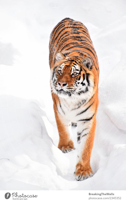 High angle view of tiger walking on snow Cat Nature White Red Animal Winter Baby animal Cold Snow Wild Wild animal Walking Mammal Deep Zoo Animal face