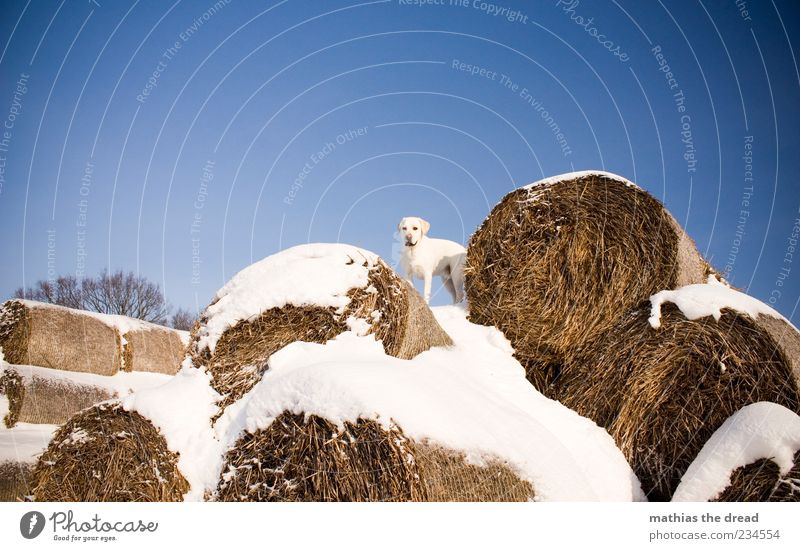 OLD WINTER PICTURE II Environment Nature Animal Sky Cloudless sky Beautiful weather Snow Pet Dog 1 Stand Cold Bale of straw White Freedom Camouflage