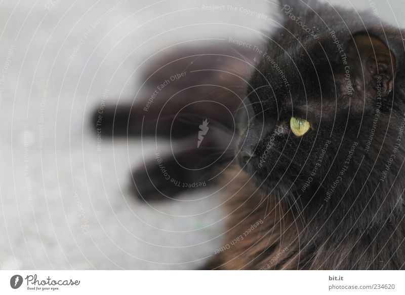 that would be then.... Animal Pet Cat Animal face Pelt 1 Observe Relaxation Lie Exotic Black Angora cat Long-haired Eyes Cat eyes Cat's head Cat's ears Break
